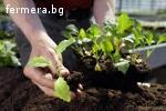 Разсади от етерично-маслени култури и билки