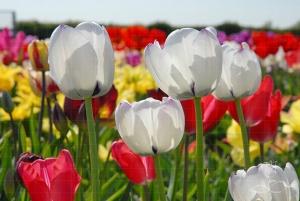 Лалетата - пролетни принцеси