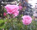 Маслодайна роза Елейна - пикиран разсад.