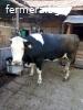 Продавам крава
