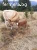 Продавам Крави БРГ(Българско родопско говедо) с паспорти