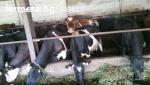 продавам крави