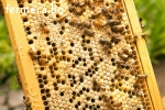 Продавам пчелни отводки