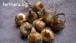 Шафран луковици собствено производство